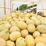 Мақтаралдық диқандар жиналған қауынның 70 пайызын экспорттаған
