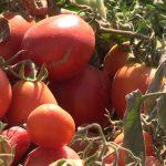 Арыстағы қызанақ өңдейтін зауыт енді томат пастасын шығаратын болады