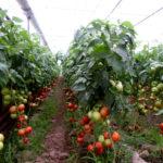 Республикадағы жылыжайдың 80 пайызы Оңтүстікте