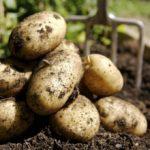 Павлодар облысында картоптың келісі егіс алқаптарынан 45 теңгеден сатылады