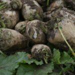 Павлодарлық аграрийлер тәжірибелік қызылшаның алғашқы өнімдерін алды